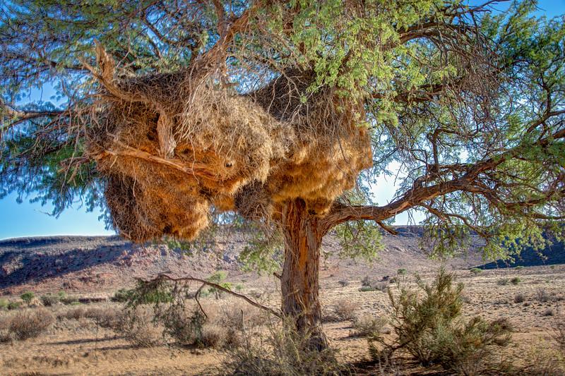 Sociable weaver nest housing up to 100 pairs of birds