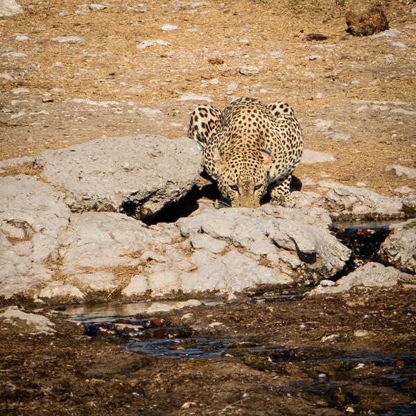 Leopard at the waterhole