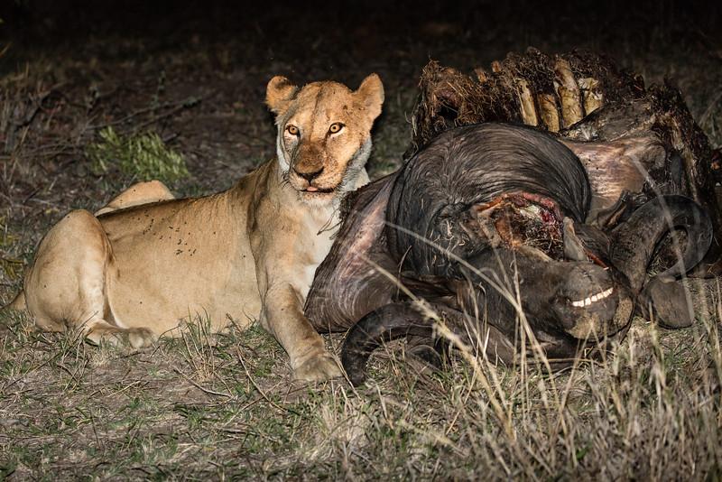 Eating an African Buffalo