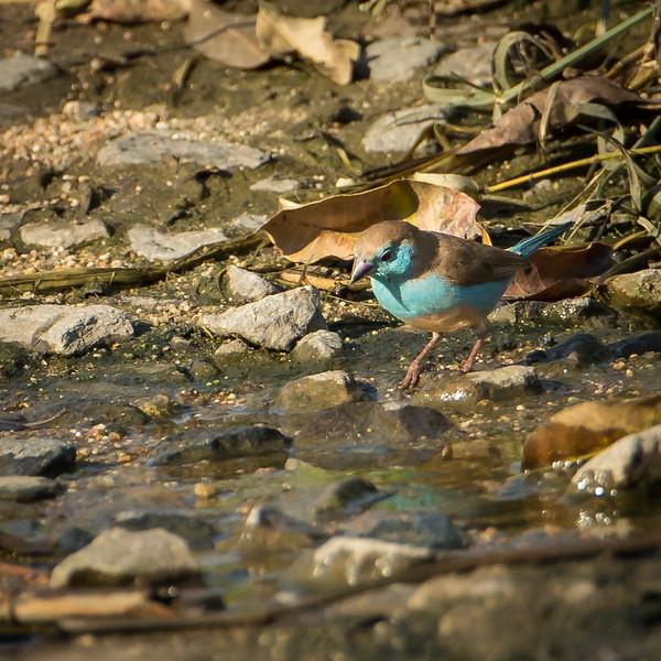 Blue waxbill at Sabi Sands Reserve