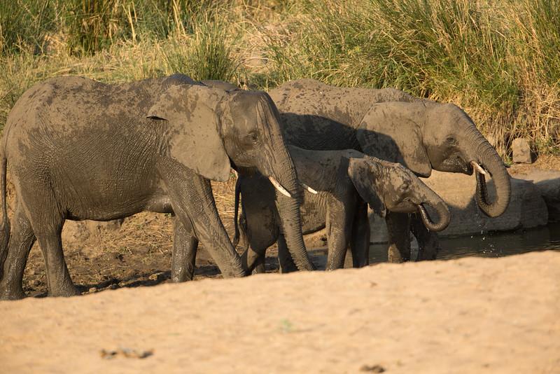 Drinking at Timbavati Game Reserve