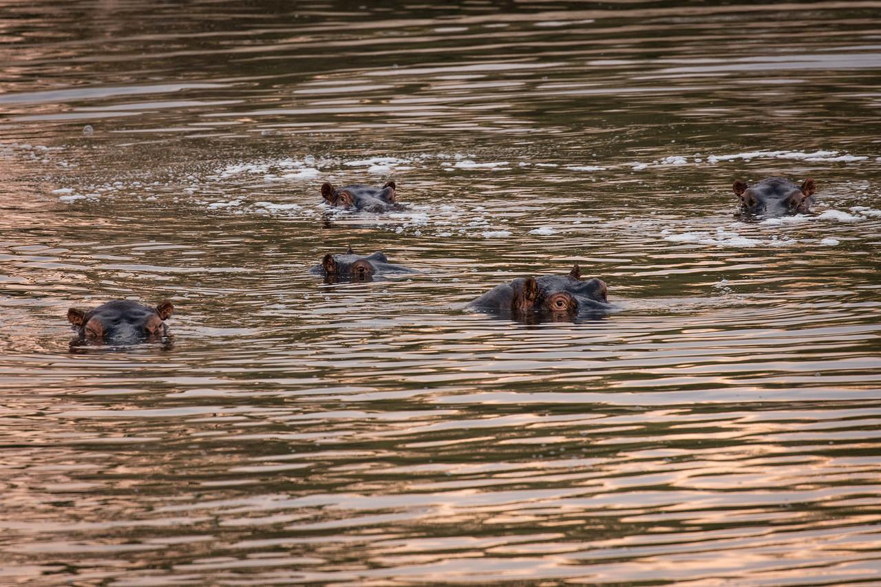 Hippos watching us