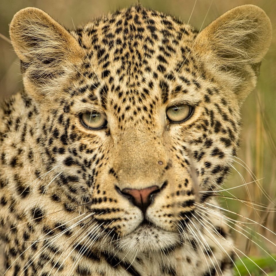 The eyes of a leopard