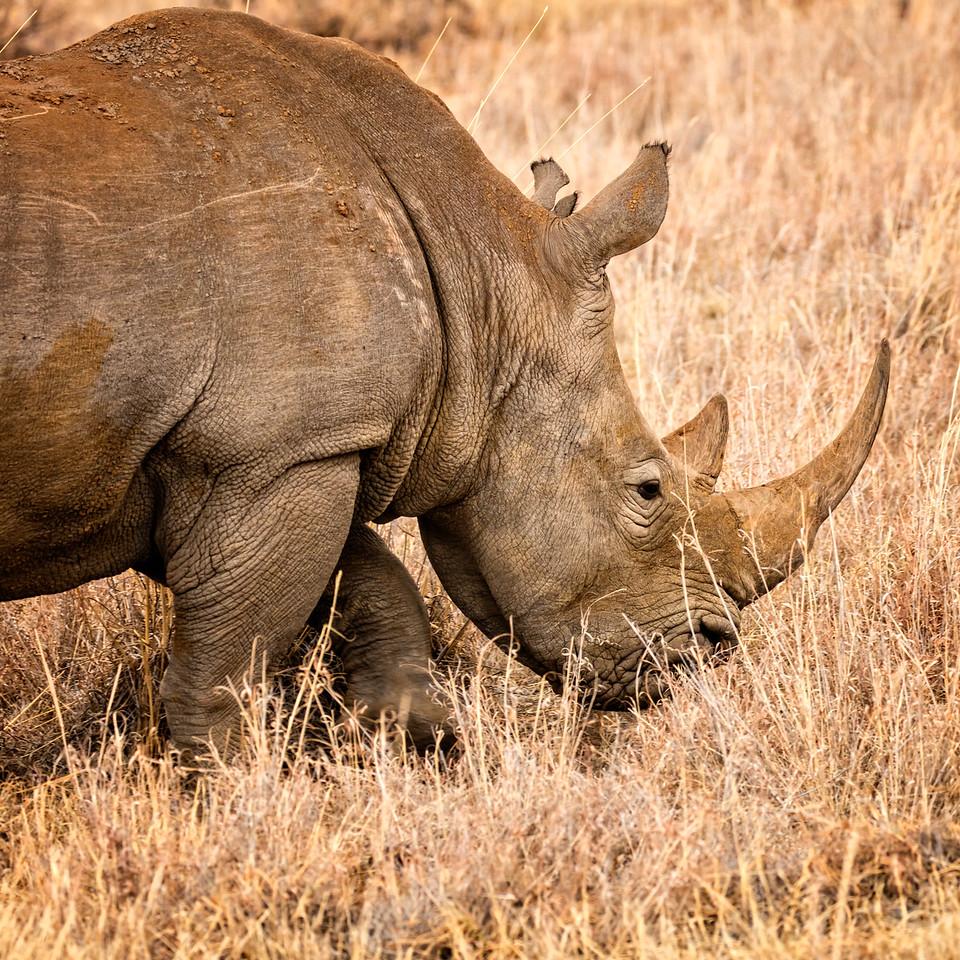Rhinos are endangered