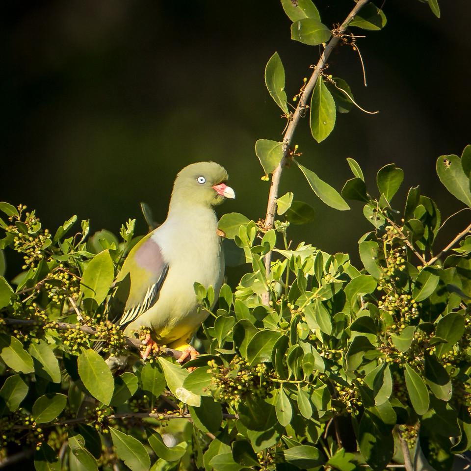 African green pigeon