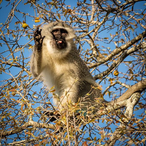 Vervet monkey waving hello