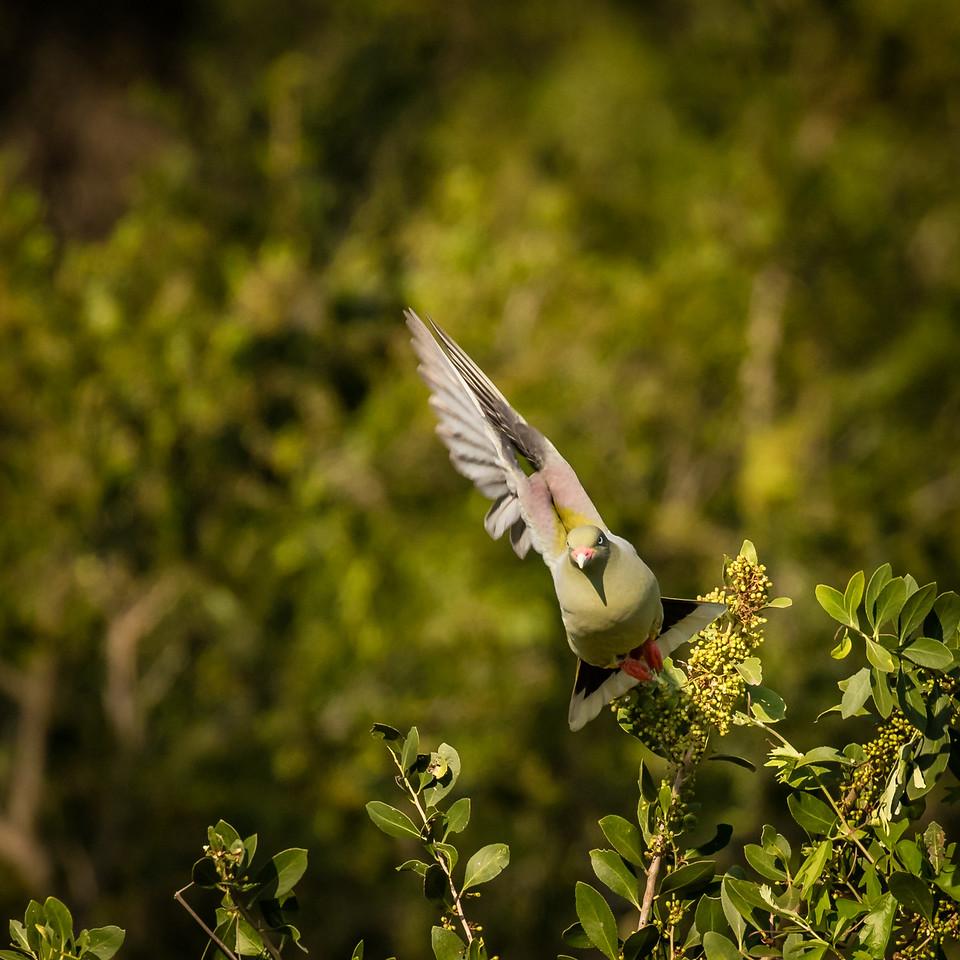 Green pigeon in flight