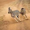 In playful pursuit