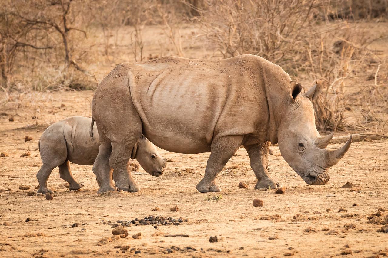 Mother rhino and calf