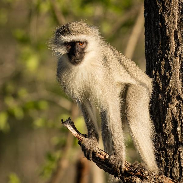 Vervet monkey watching intently