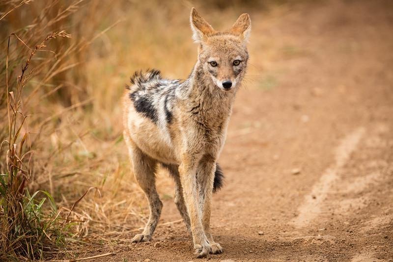 Meet a jackal