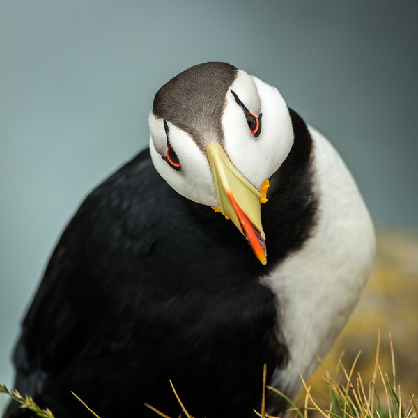 Horned puffin. See the small horns emerging from the eyes.