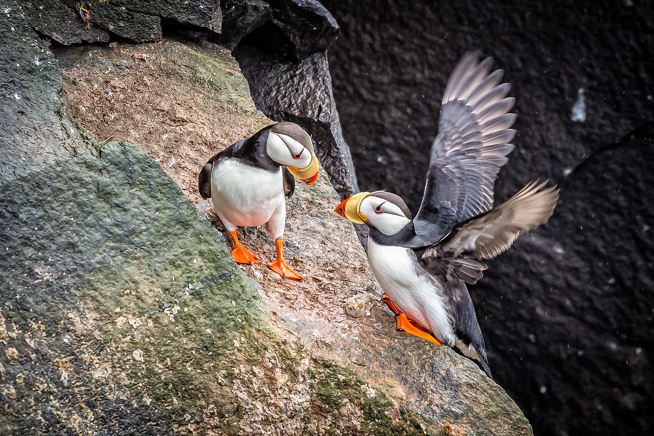 Puffins dwell on cliffs to have their young for about 3 months a year.