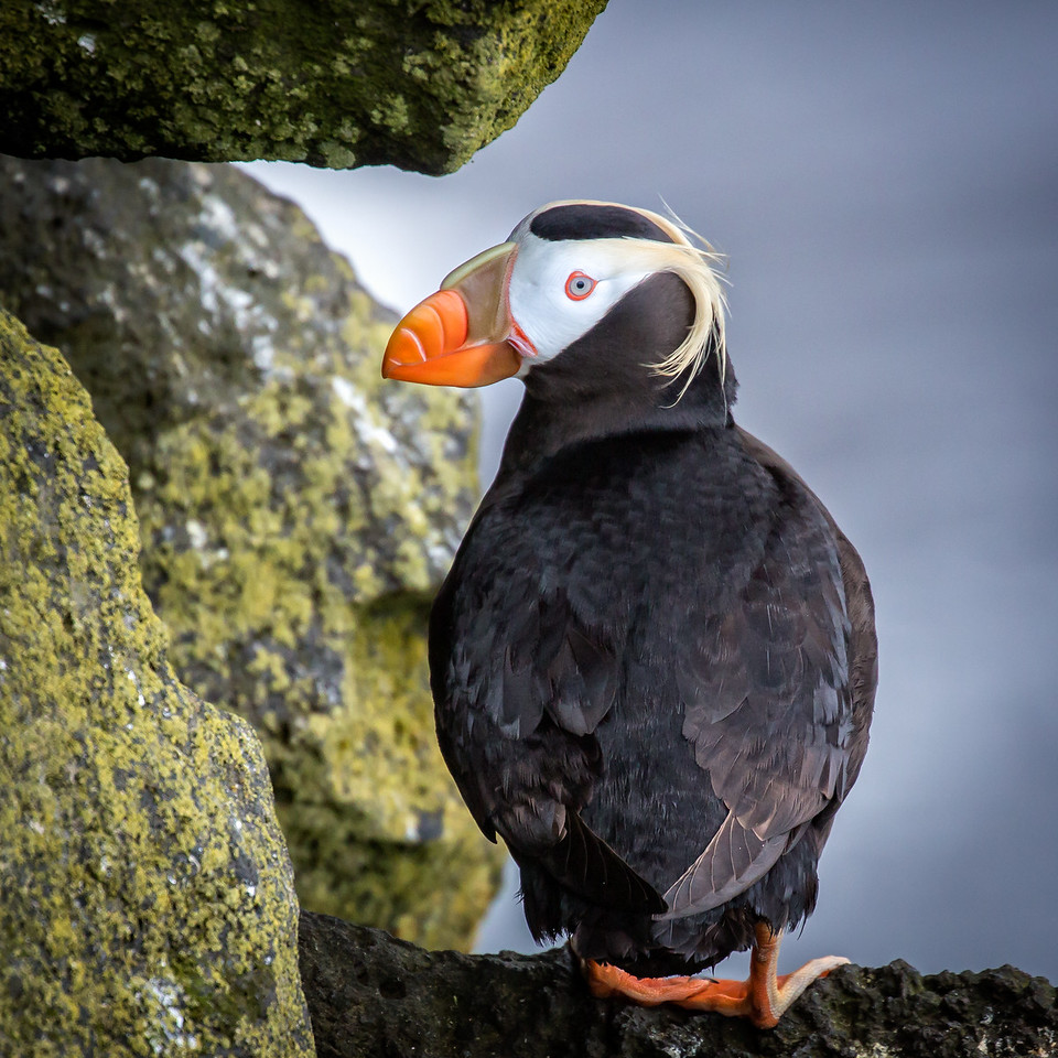 Tufted puffin, one of 4 types