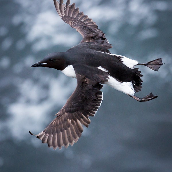 Murres, like puffins, spend all winter at sea.