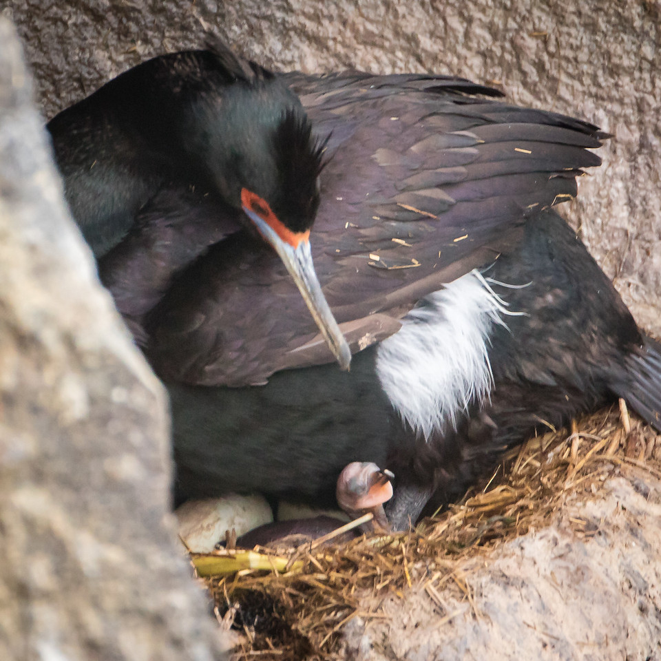 Red-faced cormorant with newly hatched chick. Note the two additional eggs.