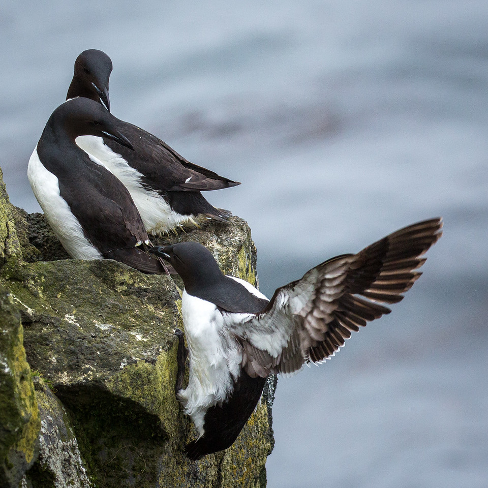 """""""Oops. A little short!"""" Murres are better swimmers than fliers."""