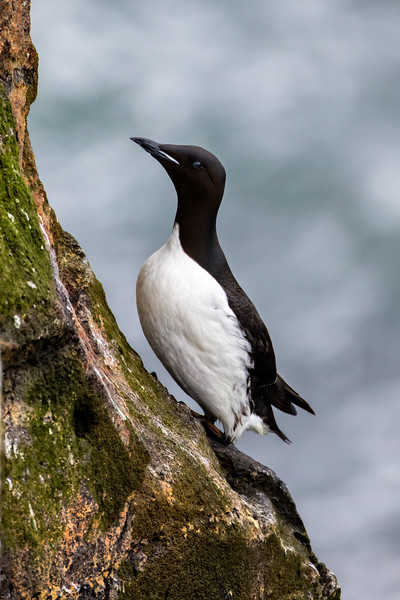 Murres do not build nests to incubate their eggs.