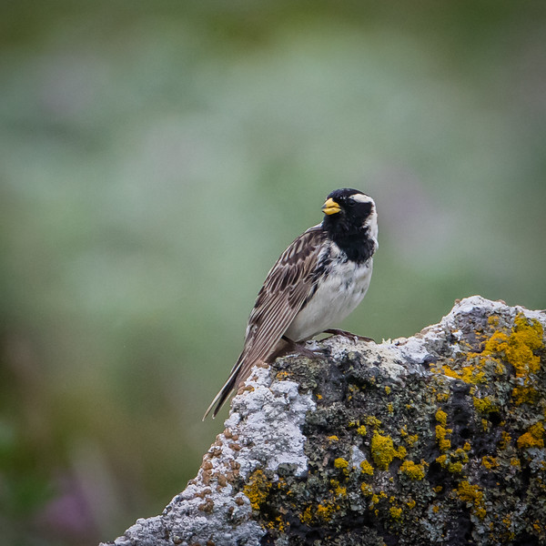 This small bird is a Lapland Longspur.