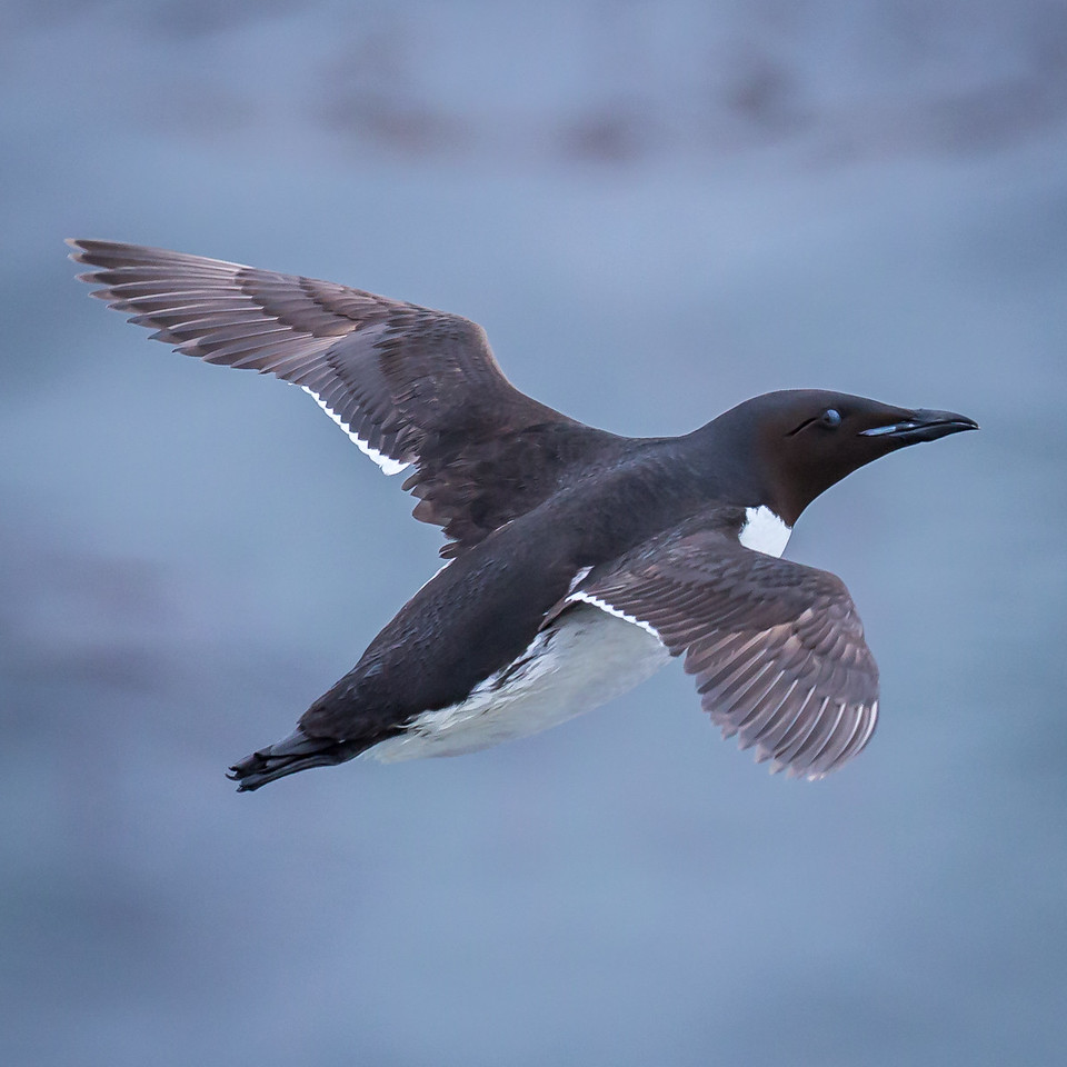 As fliers, Murres' take-offs are awkward, but then they can reach speeds of 75 mph.