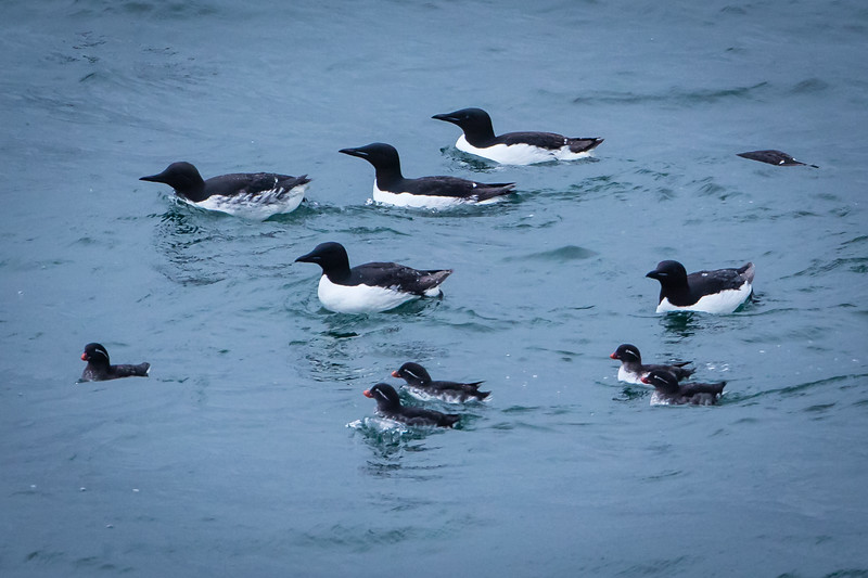 Thick-billed murres with parakeet auklets.