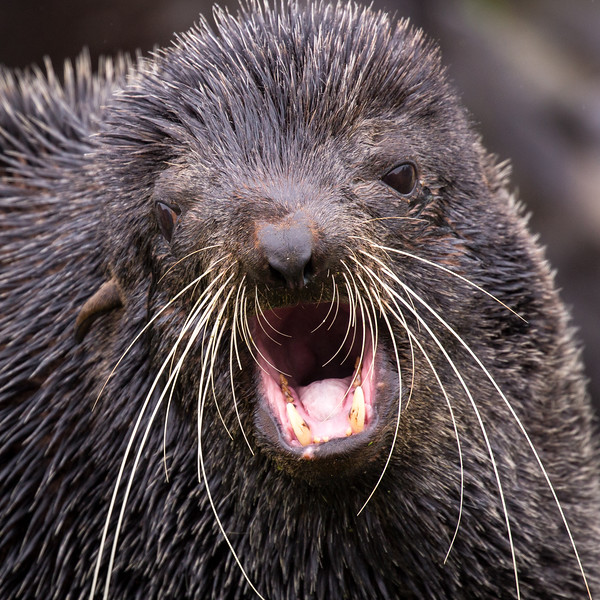 The dense underfur of fur seals encouraged commercial hunting.