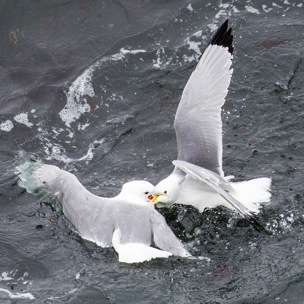 Black-legged kittiwakes in a friendly fight.