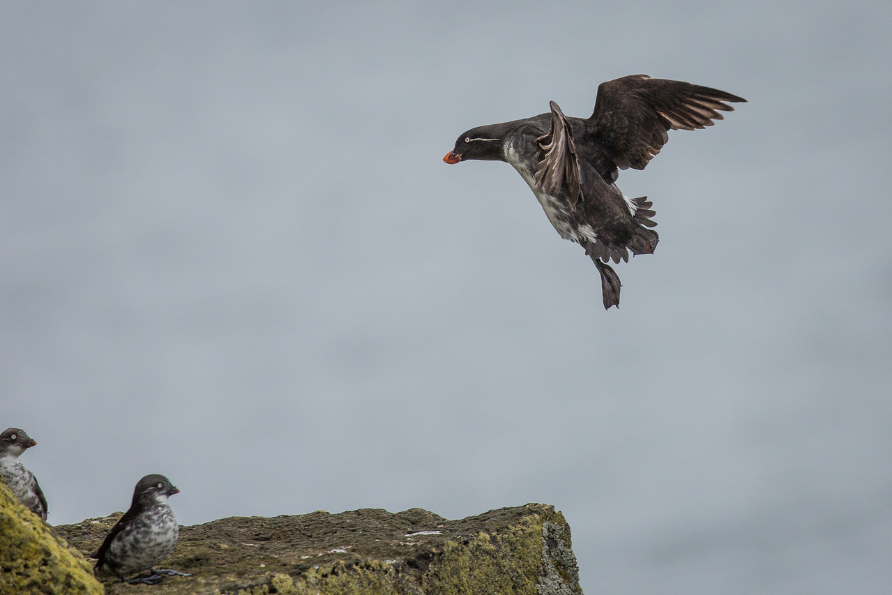 Crested auklets are 7-11 in. in length and weigh 7-12 oz.