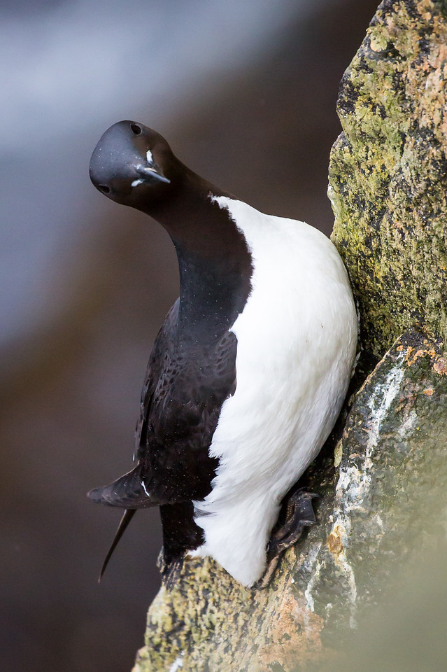 Murres cling precariously to steep cliffs.