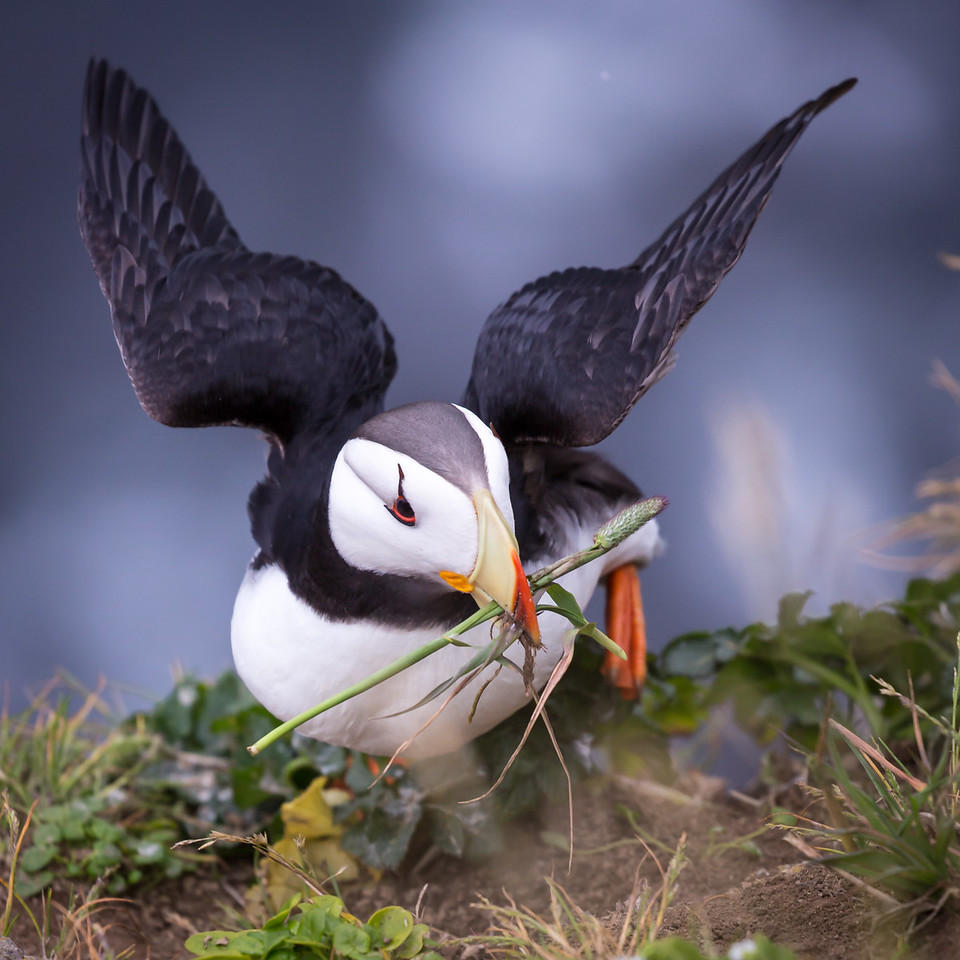 Puffins eat fish exclusively.