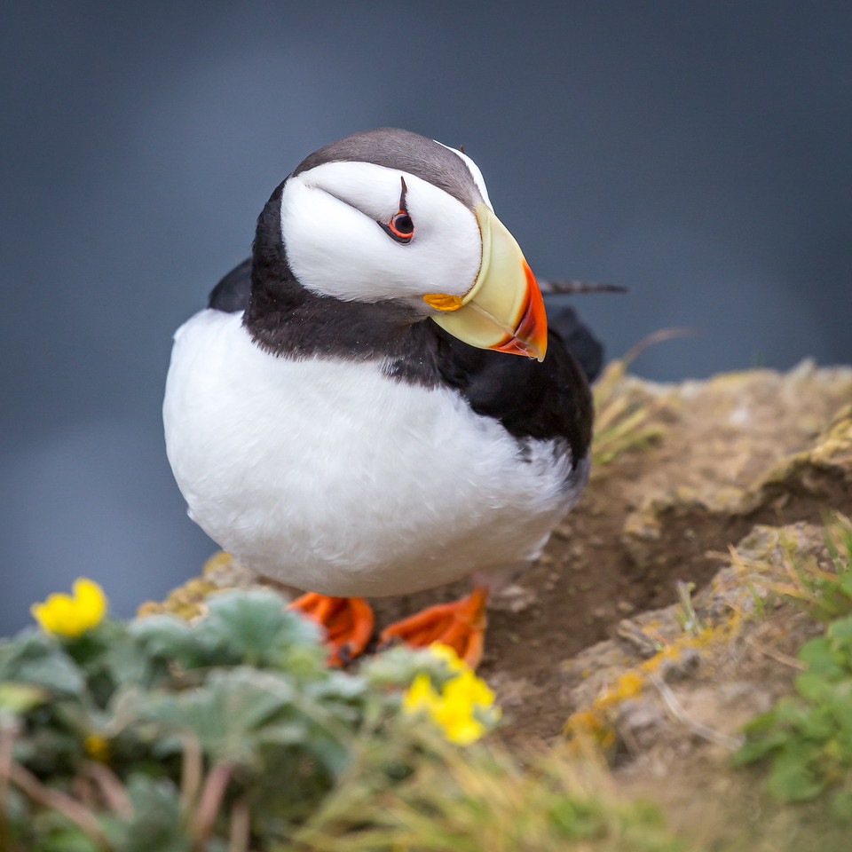 Puffins have short wings adapted for diving and underwater swimming.