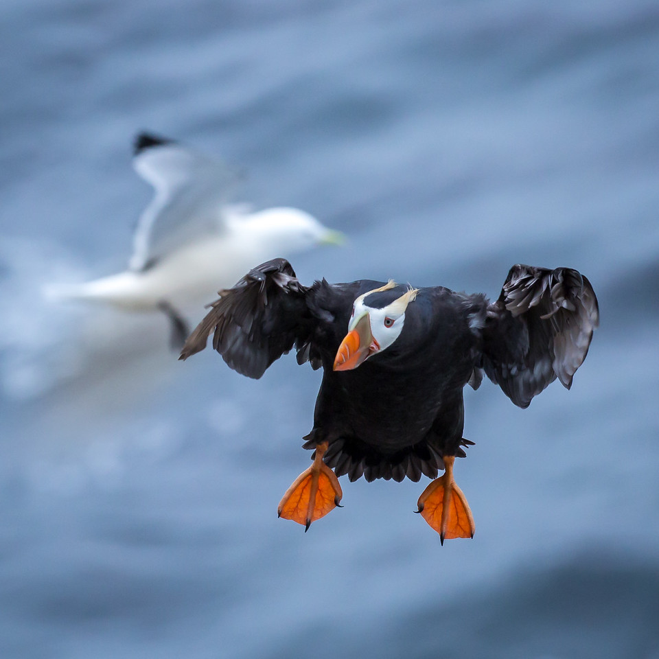 Consequently, puffins can't glide so they move quickly through the air.