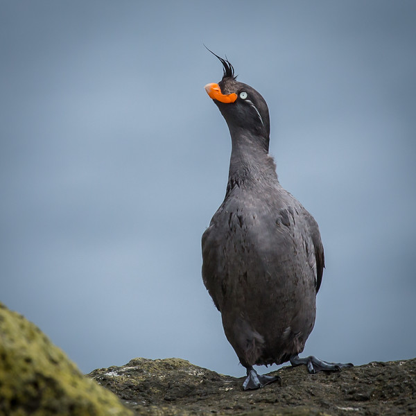 Here's a closer view of a crested auklet.