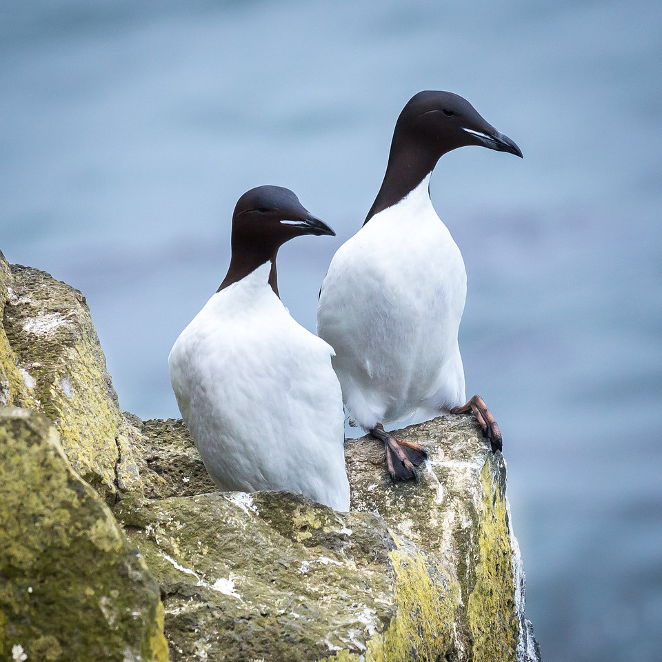 Murres, puffins, crested auklets, and parakeet auklets all are members of the Auk family.