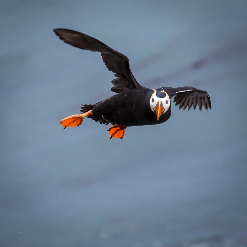 Puffins are about 15 in in length and weigh about 1.6 lbs.