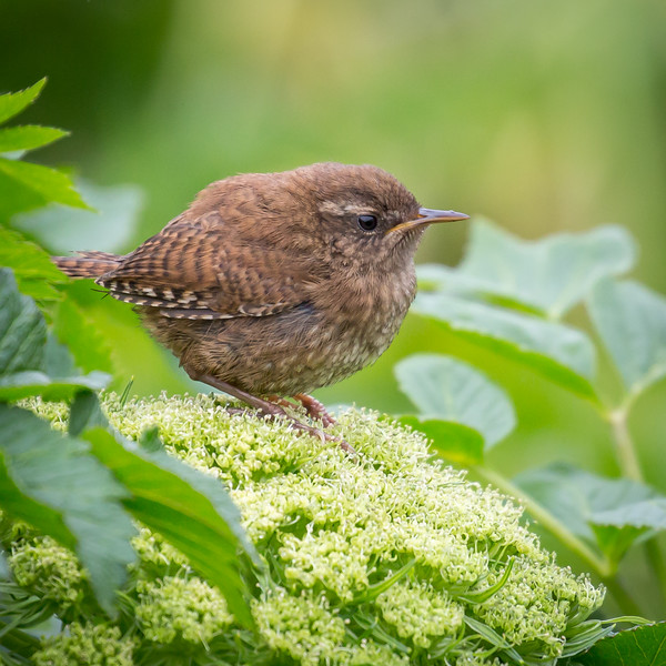 The tiny Pacific Wren.