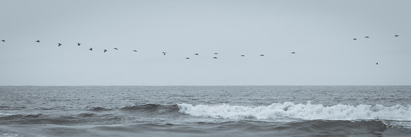 Pelican parade above the waves of Drake's Beach