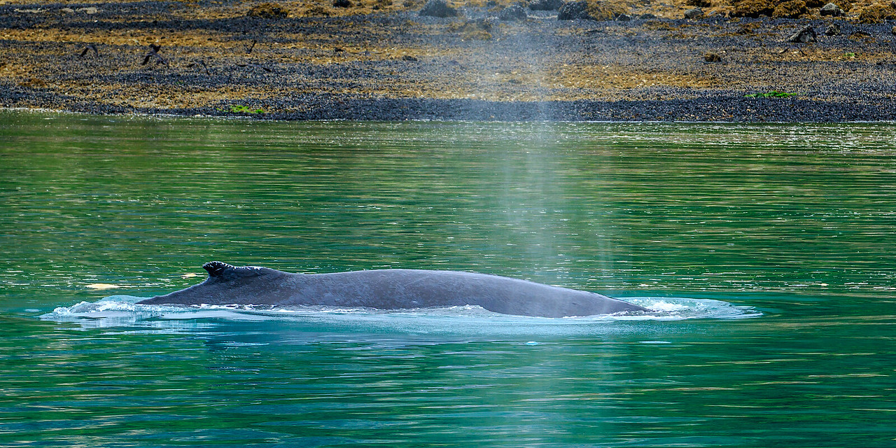 Humpback Whale surfaces for a quick breath