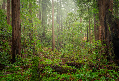 The grandeur of Muir Woods,