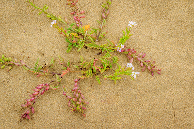 Flowers on Kehoe Beach