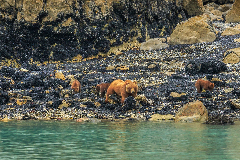 Mama Grizzly Bear (giving us the evil eye) and her three (1 year-old) cubs