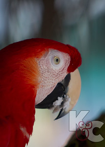 Scarlet Macaw Eating Coconut