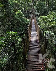 Suspension Bridge in the Mid-Canopy of the Rainforest