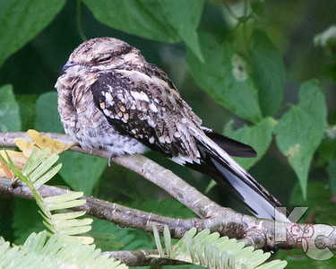 Great Potoo Owl