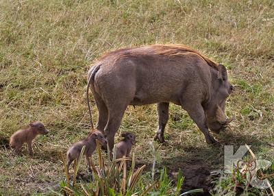 Warthog with Babies