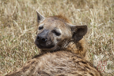 Hyena Lounging
