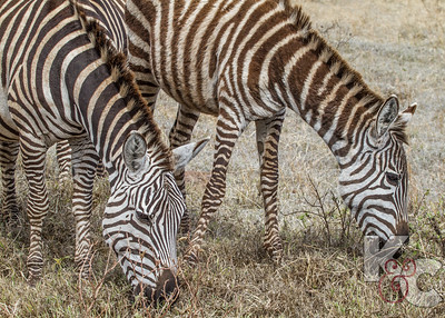 Young Zebras Have Brown Stripes Rather Than Black