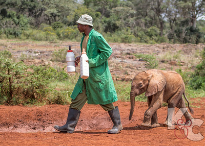 Feeding Time at Dame Daphne Sheldrick's Elephant Orphanage
