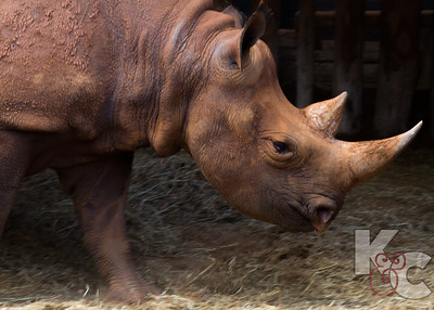 Rescued Blind Black Rhino