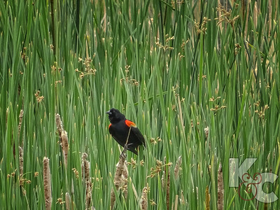 Red-winged Black Bird in Wonderland Lake Park, Boulder
